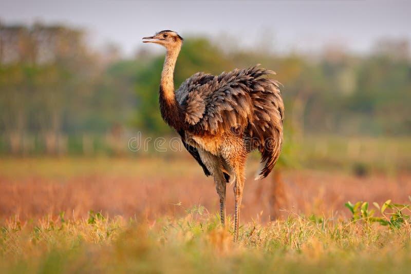 Het wildscène van Brazilië Vogel met lange hals Grotere Nandoe, Nandoe americana, grote vogel met pluizige veren, dier in aard ha stock afbeeldingen