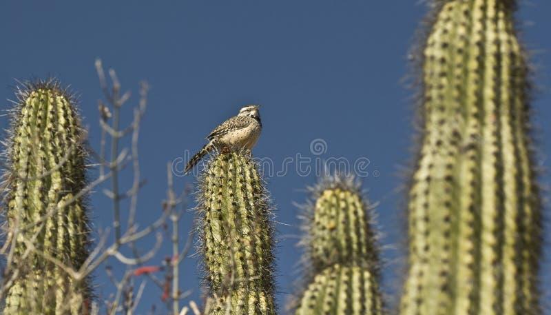 Het Winterkoninkje van de cactus stock foto's