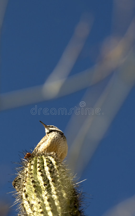 Het Winterkoninkje van de cactus royalty-vrije stock afbeelding