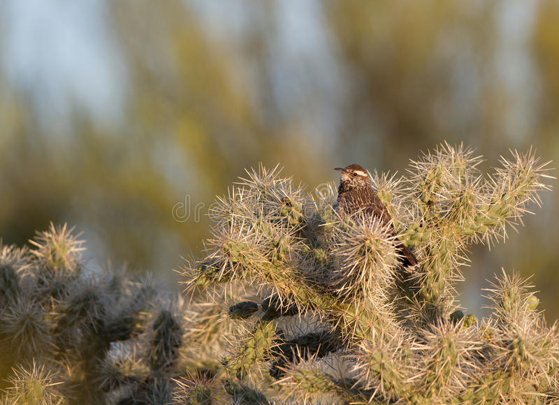 Het Winterkoninkje van de cactus, brunneicapillus Campylorhynchus royalty-vrije stock foto