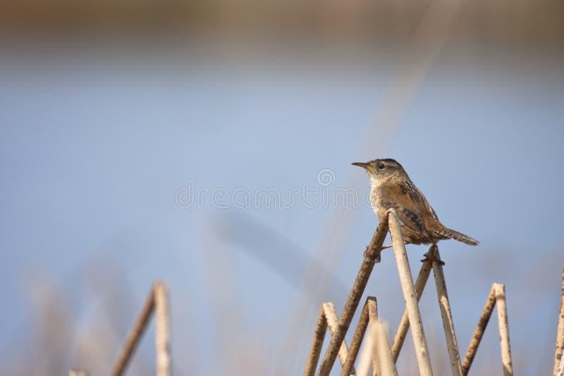 Het Winterkoninkje van het moeras stock fotografie