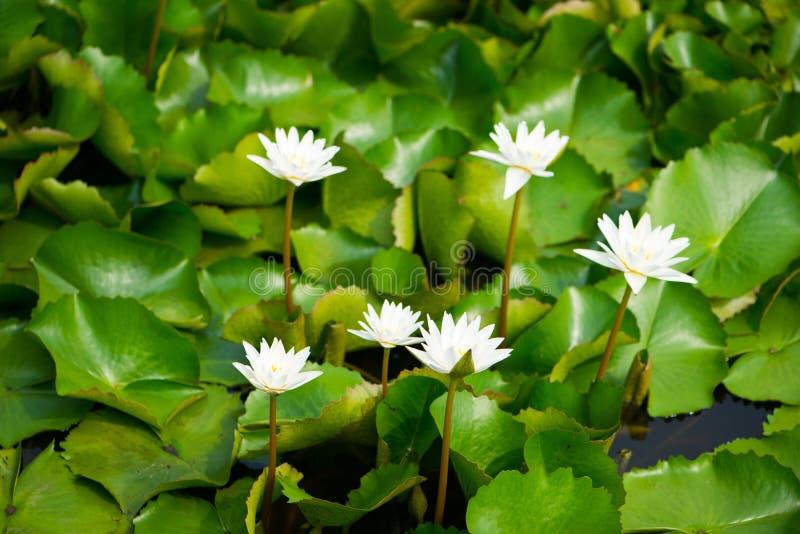 Het wit bloeit waterlily in pool stock fotografie