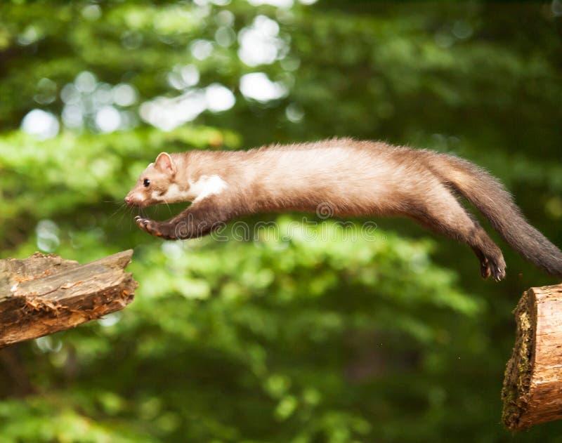 Het wit brasted marter springend op hout - Martes-foina royalty-vrije stock afbeeldingen
