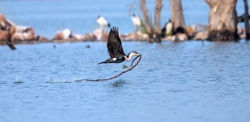 Het wit breasted aalscholver die over een meer met nest materieel voorbij een eiland vliegen royalty-vrije stock afbeelding