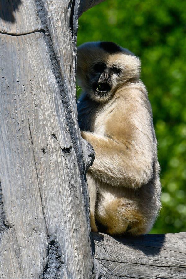 Het wit cheeked gibbon stock afbeeldingen
