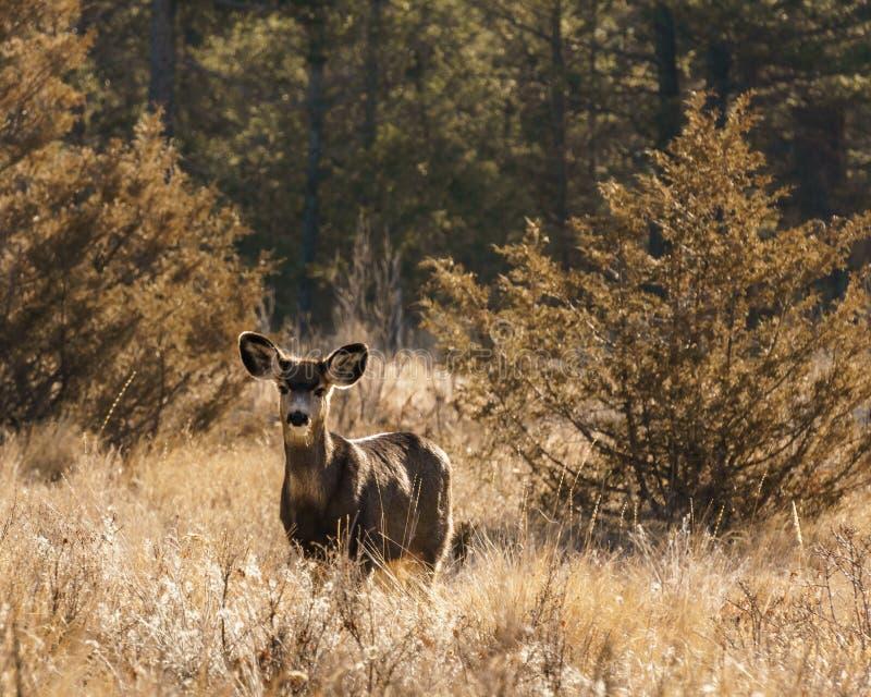 Het wit-de steel verwijderde van of wilde dier van Virginia Deer in de lente bos Brits Colombia Canada royalty-vrije stock foto