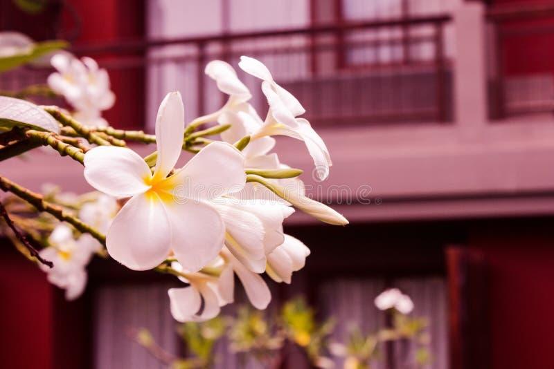 Het wit of plumeria van de Frangipanibloem bloeit het witte tot bloei komen op takboom in ochtend bij de bouw van achtergrond royalty-vrije stock foto's