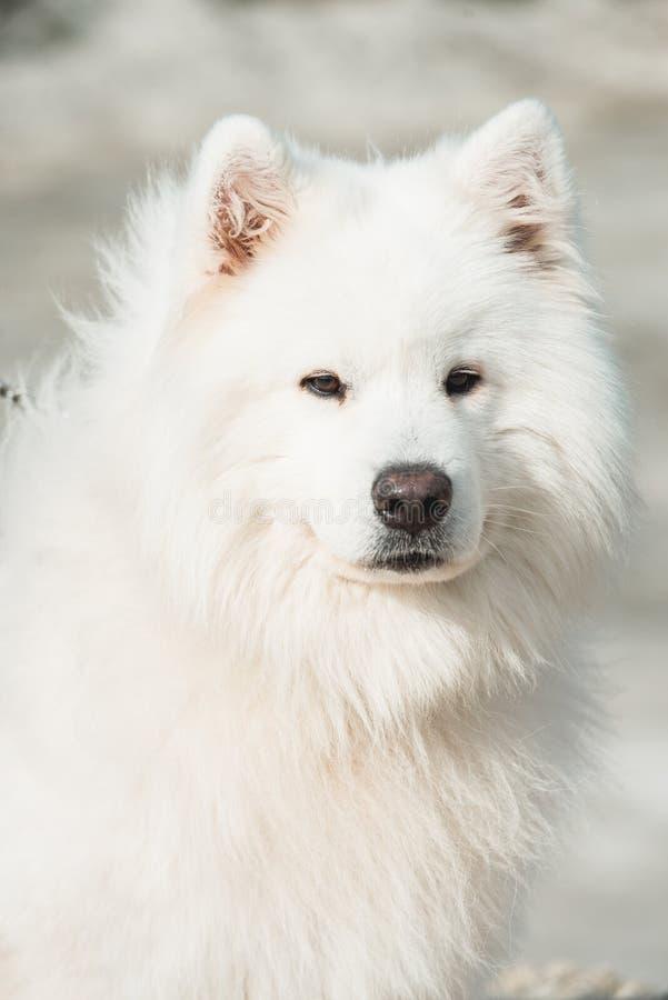 Het wit samoed hond zand op een achtergrond royalty-vrije stock foto's