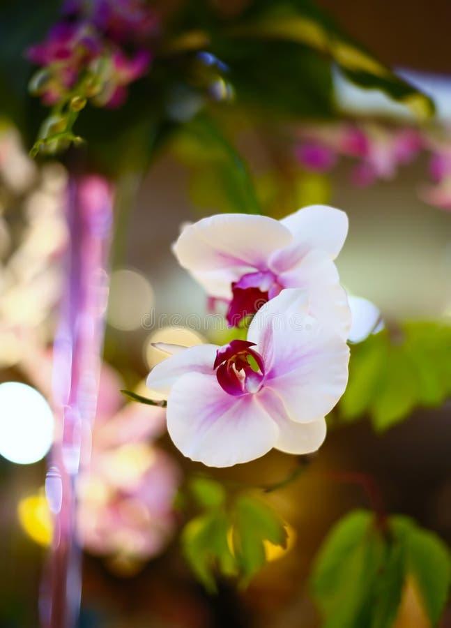 Het wit van de orchidee royalty-vrije stock foto's