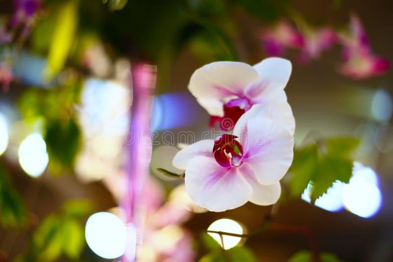 Het wit van de orchidee stock afbeelding
