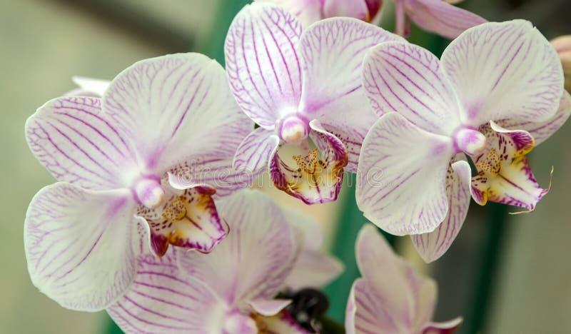 Het wit van de orchideebloem stock afbeeldingen