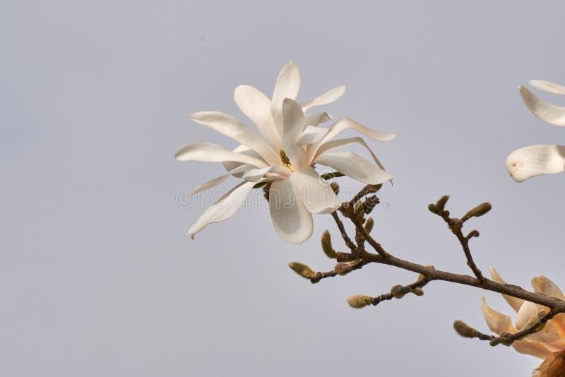 Het wit van magnoliastellata waterlily in de tuin royalty-vrije stock fotografie