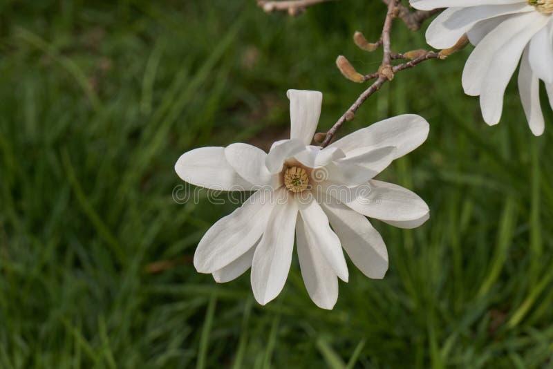 Het wit van magnoliastellata waterlily in de tuin stock afbeelding