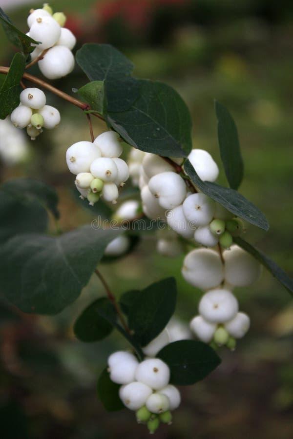 Het wit van Snowberry stock afbeelding