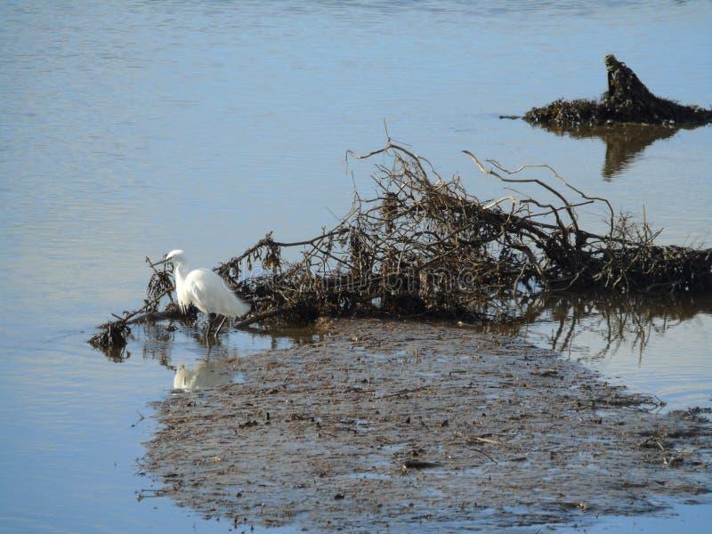 Het witte Aigrette Waden stock foto's