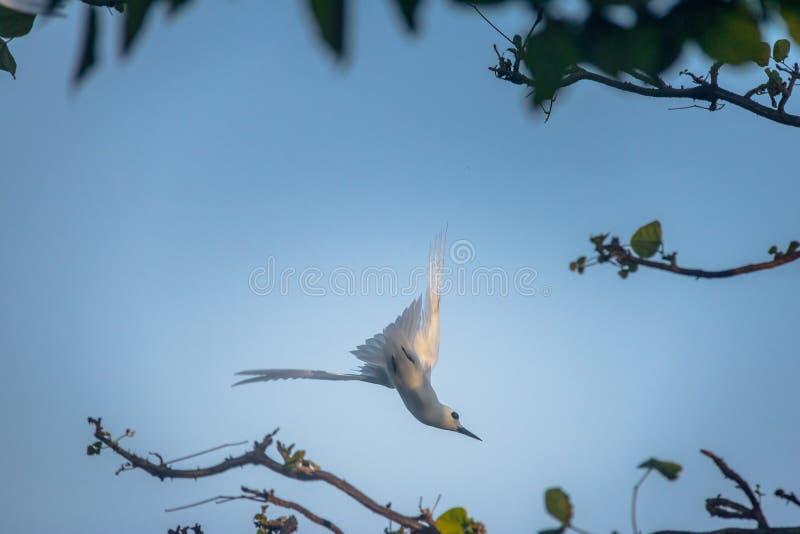 Het witte alba vliegen van Sterngygis - Fernando de Noronha, Pernambuco, Brazilië royalty-vrije stock foto's