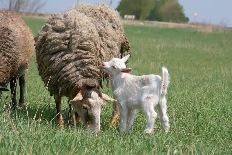 Het witte belachelijke jonge geitje en het schaap zijn geweid op een landbouwbedrijf royalty-vrije stock afbeeldingen