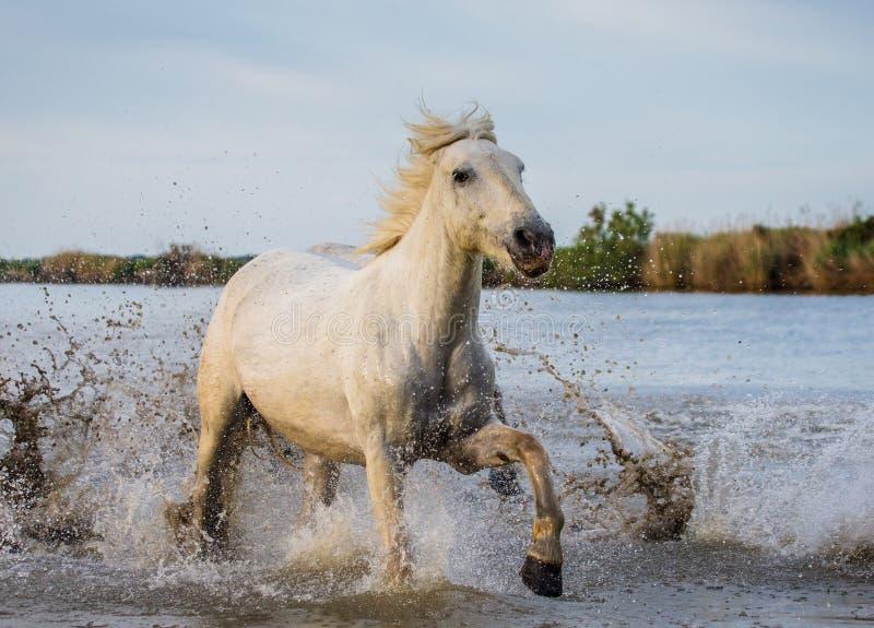 Het witte Camargue-Paard loopt in het moerassennatuurreservaat Parc Regional DE Camargue frankrijk De Provence royalty-vrije stock afbeelding