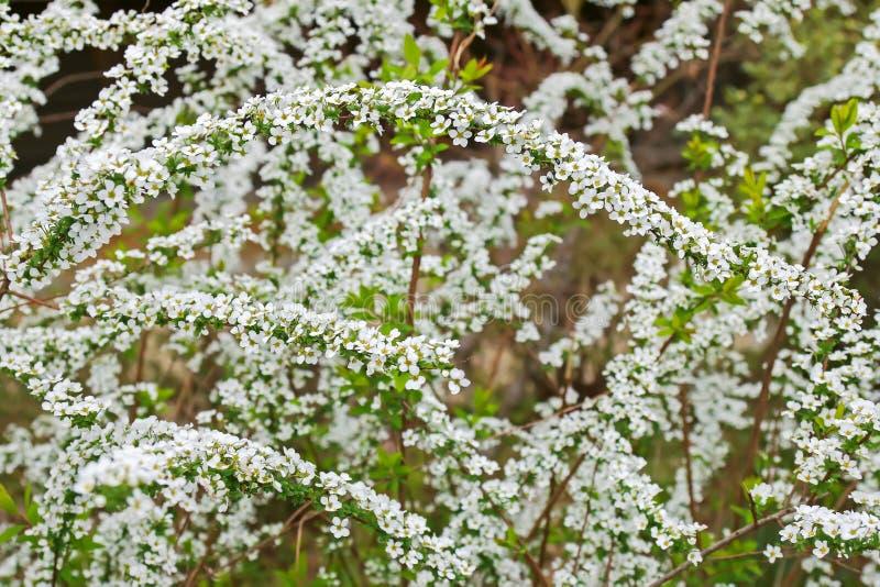 Het witte de lentebloem van Spiraea alpiene tot bloei komen royalty-vrije stock fotografie