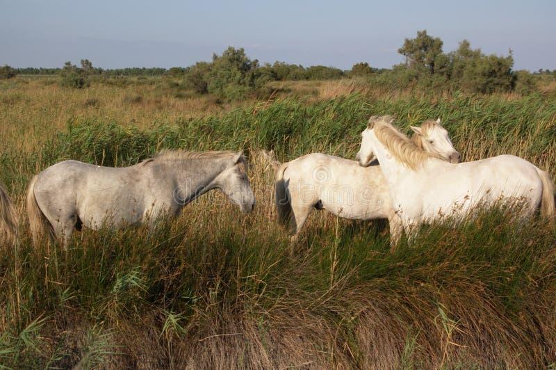 Het witte de paarden van Camargue weiden stock foto's