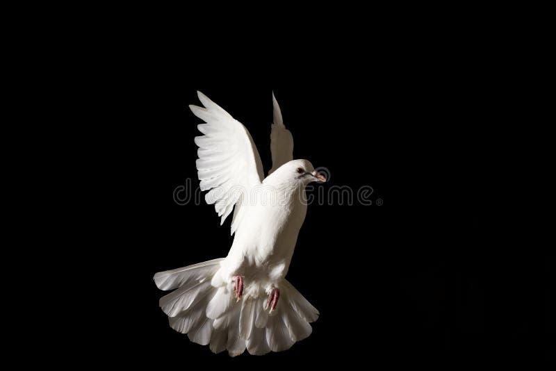 Het witte duif vliegen geïsoleerd op zwarte stock foto