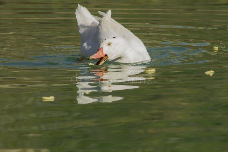 Het witte eend eten stock afbeeldingen