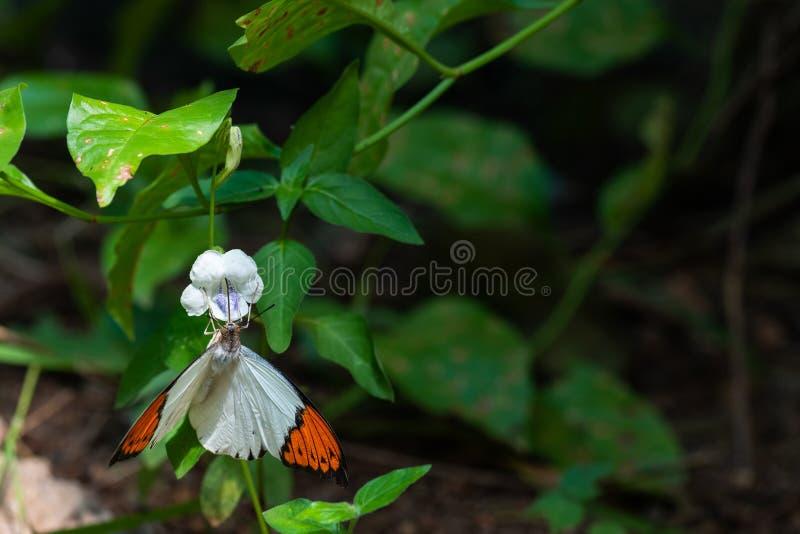 Het witte en oranje vlinder voeden op nectar van een bloem stock foto