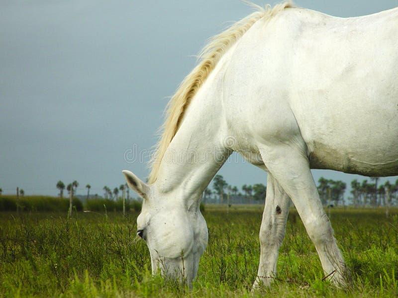 Het witte Eten van het Paard royalty-vrije stock foto's