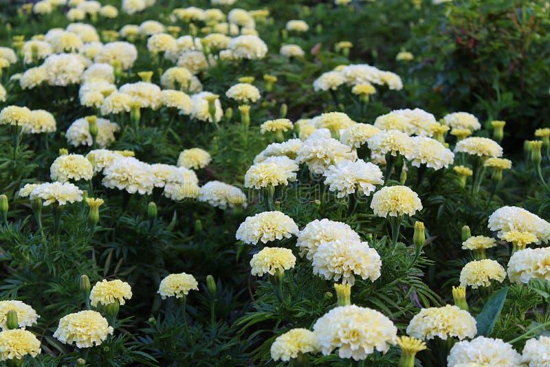 Het witte fluweelbloem groeien in openlucht royalty-vrije stock fotografie
