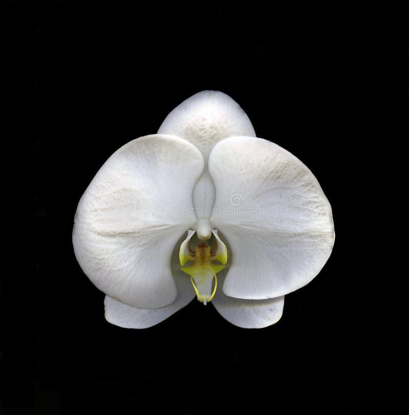 Het witte geïsoleerde bloemblaadje van de Orchideebloem stock afbeeldingen