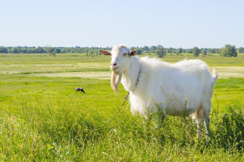 Het witte geit weiden in een groene de zomerweide, die gras op een weiland, landbouwbedrijfdier op een gebied eten royalty-vrije stock foto