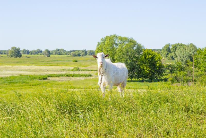 Het witte grappige geit weiden in een groene de zomerweide, die gras op een weiland, landbouwbedrijfdier op een gebied eten stock foto's