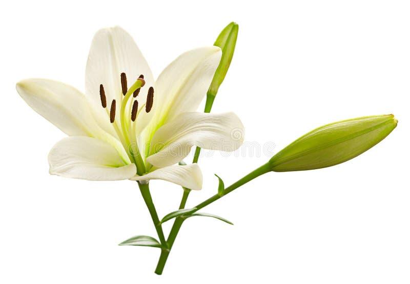 Het witte hoofd van de leliebloem stock afbeeldingen