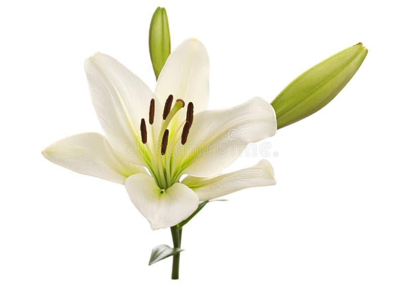 Het witte hoofd van de leliebloem royalty-vrije stock afbeelding