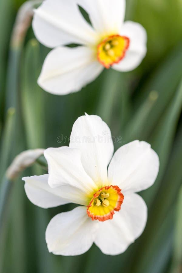 Het witte hoofd van de narcissenbloem in close-upmacro royalty-vrije stock foto