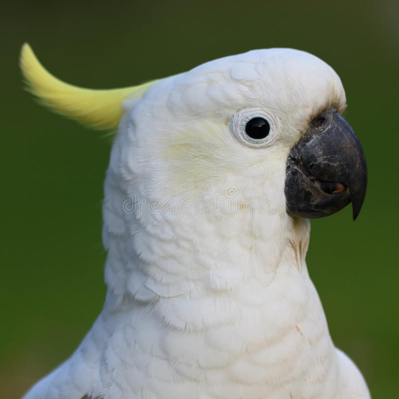 Het witte hoofd van de papegaai stock afbeelding