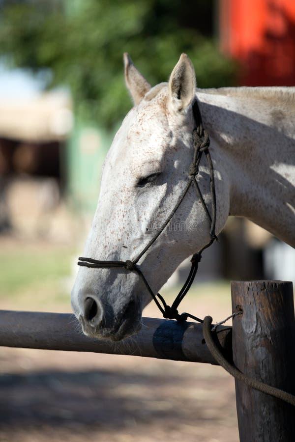 Het witte Hoofd van het Paard stock afbeeldingen