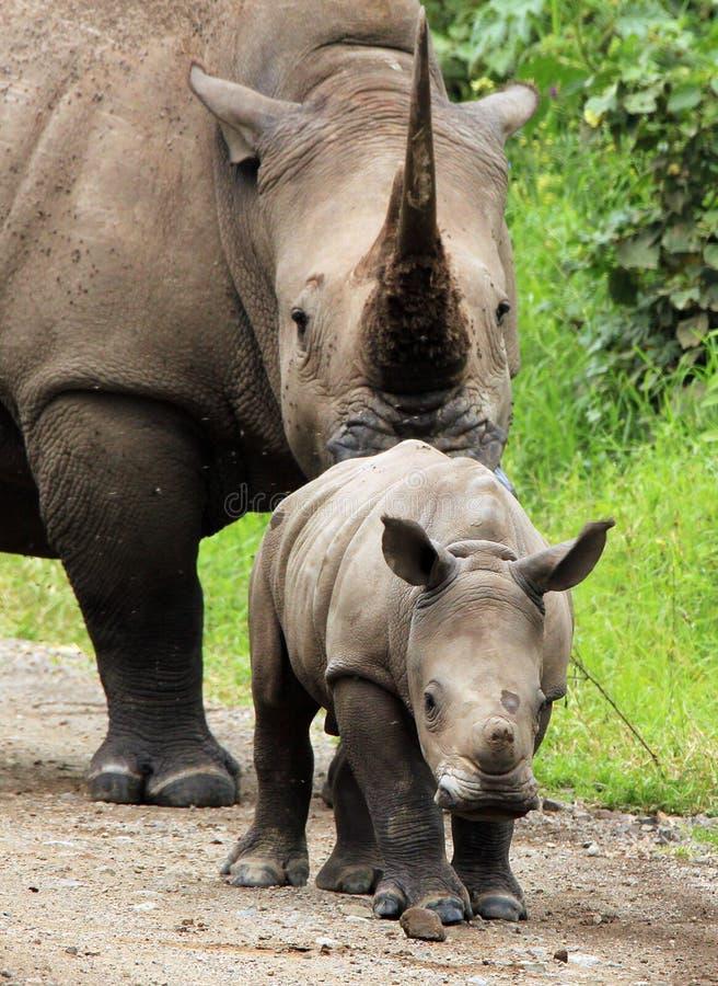 Het witte Kalf van de Rinoceros stock afbeelding