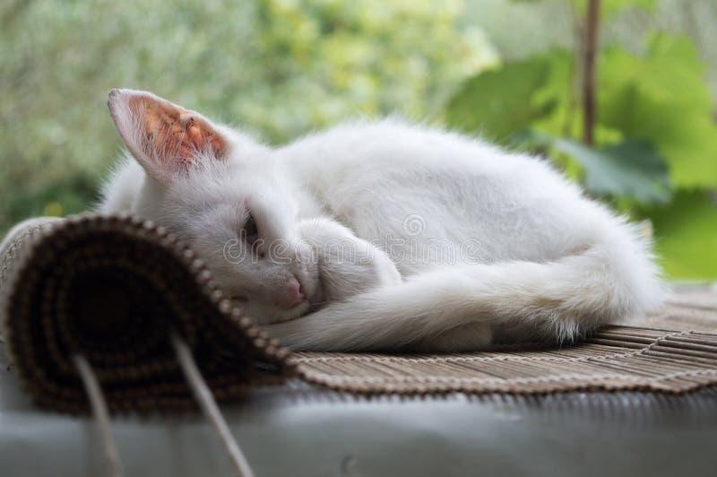 Het witte katje krulde omhoog en slaap royalty-vrije stock foto