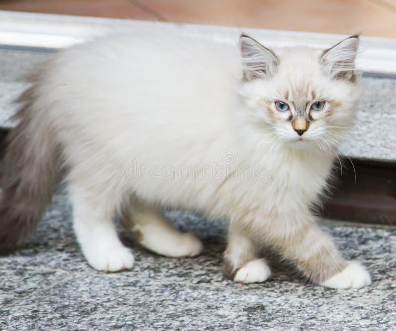 Het witte katje van de nevamaskerade in de tuin, Siberisch ras van ca stock fotografie