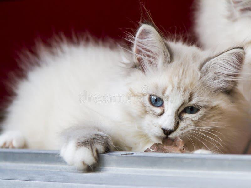 Het witte katje van de nevamaskerade in de tuin, Siberisch ras van ca stock foto's