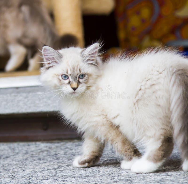 Het witte katje van de nevamaskerade in de tuin, Siberisch ras van ca royalty-vrije stock fotografie