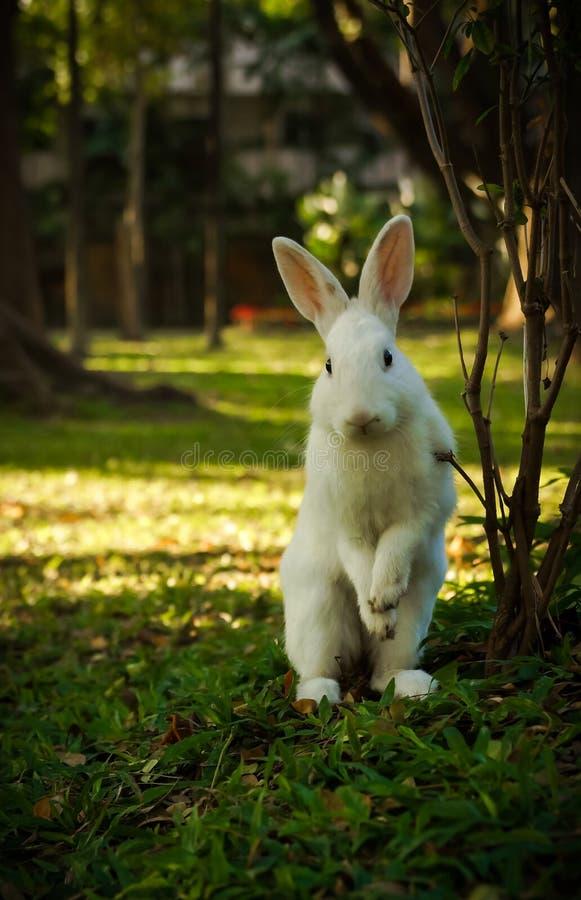 Het witte konijn loopt en bevindt zich op de open plek stock afbeeldingen