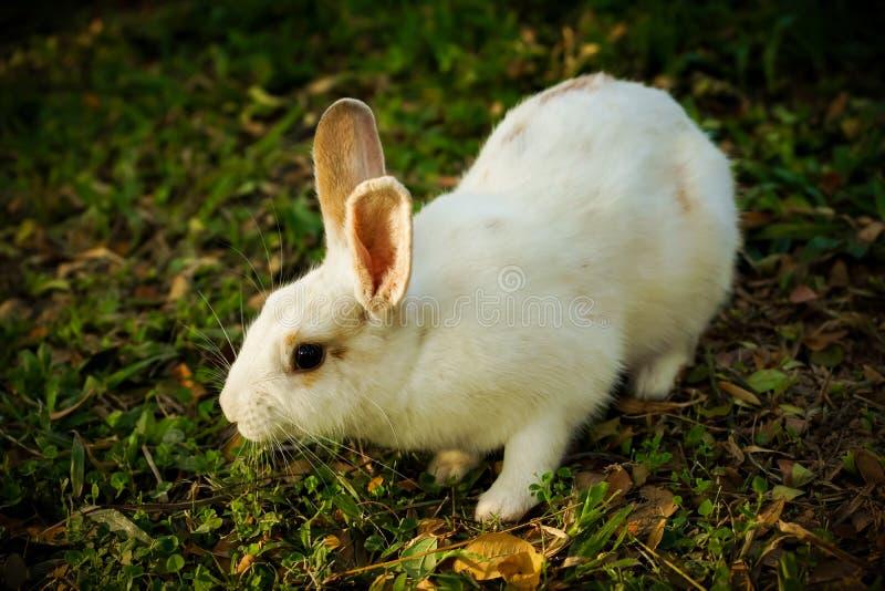 Het witte konijn loopt op de open plek stock afbeeldingen