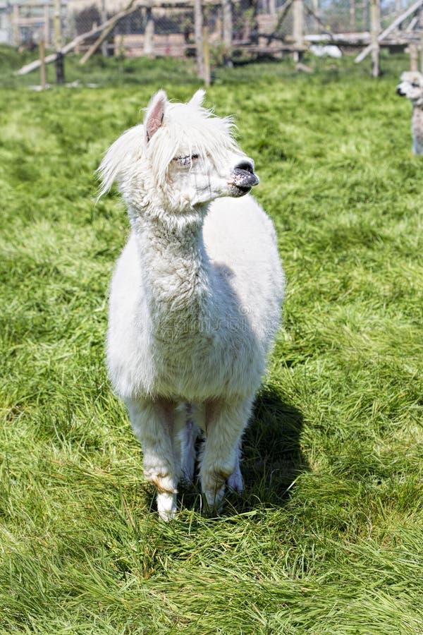 Het witte lama weiden op het gras, landbouwbedrijf stock foto
