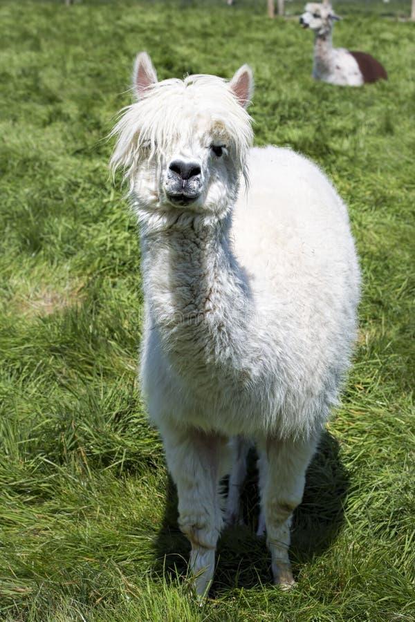 Het witte lama weiden op het gras, landbouwbedrijf royalty-vrije stock fotografie