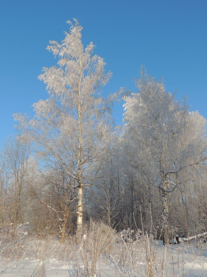 Het witte landschap van het de berkzonlicht van de de wintersneeuw stock foto