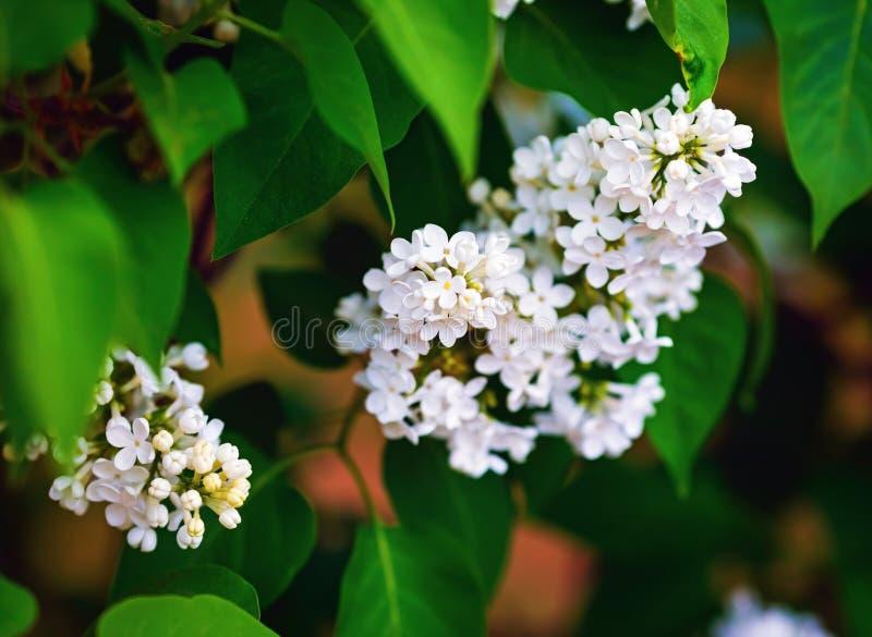 Het witte lilac bloeien royalty-vrije stock foto