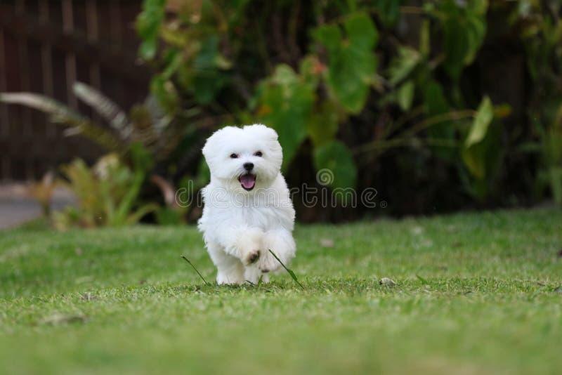 Het witte Maltese Hond Lopen stock afbeeldingen