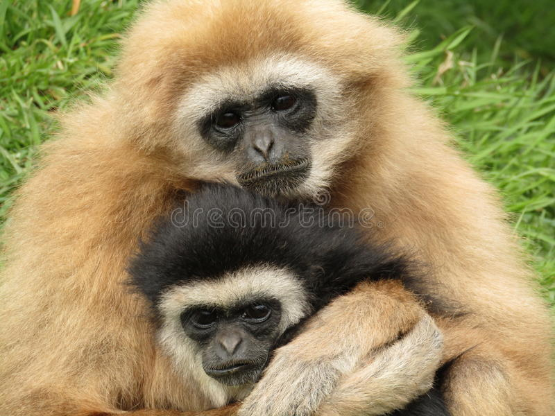 Het witte overhandigde gibbonnen koesteren royalty-vrije stock foto's